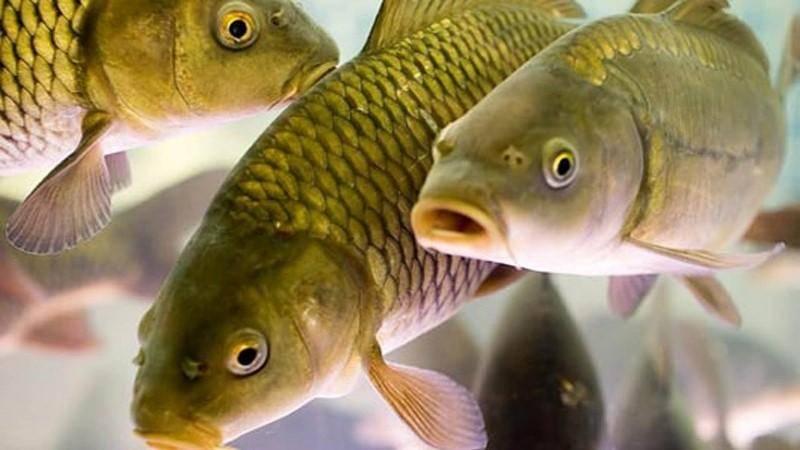 Условия содержания рыбы в искусственных водоемах.