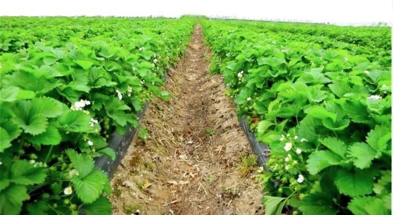 Как выращивать клубнику в открытом грунте: пошаговая инструкция с рекомендациями.