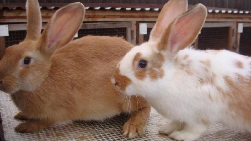 Кролики пуховые бизнес