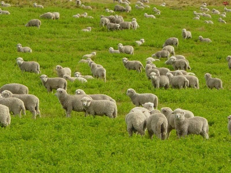 Разведение баранов и овец на мясо как бизнес: план овцеводства для начинающих с пошаговой инструкцией
