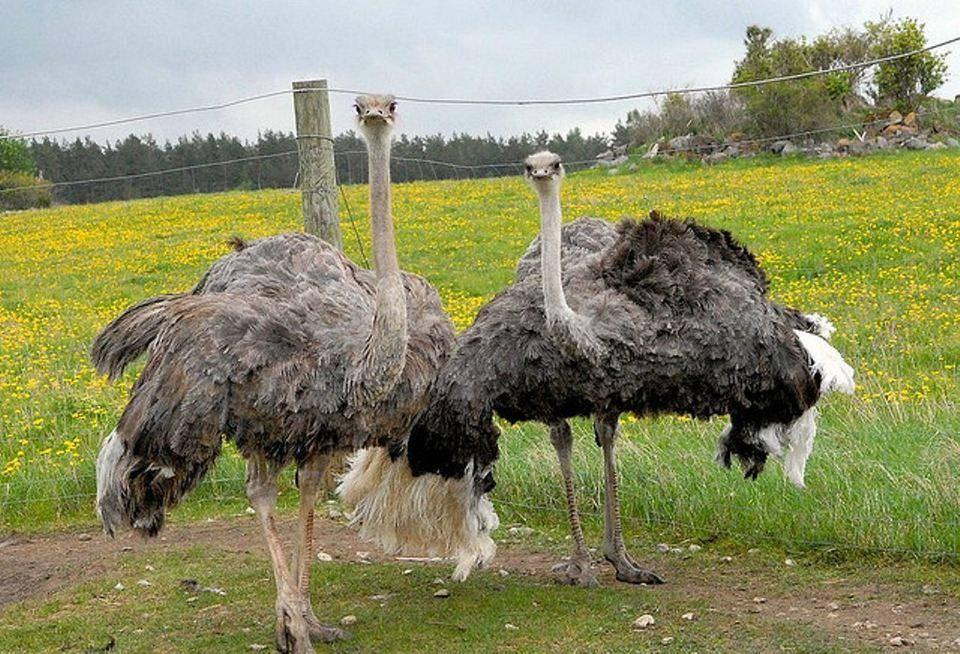 Фермерское разведение страусов в России: насколько выгодно?