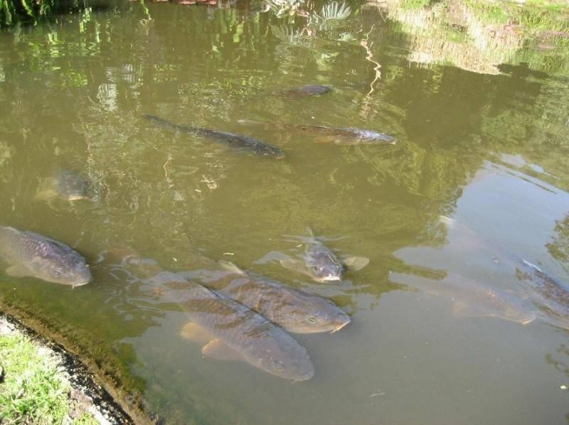 Разведение рыбы в искусственных водоемах как бизнес: сего начать?