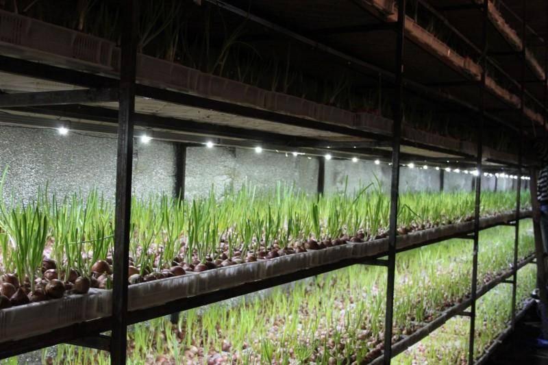 Выращивание зеленого лука в теплице зимой на продажу: с чего начать?