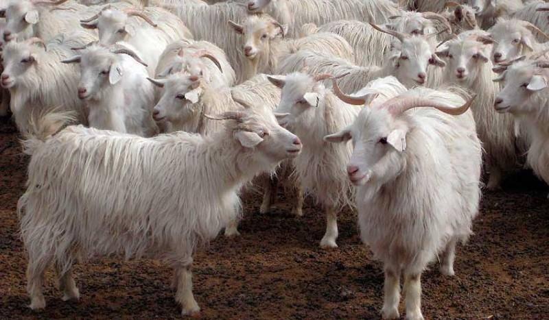 Как выбрать породу коз для разведения в домашних условиях?