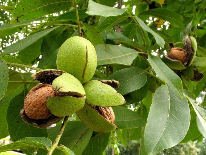 Основные достоинства и недостатки бизнеса по выращиванию грецких орехов.