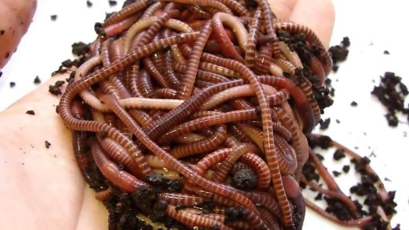 Бизнес-план разведения червей в домашних условиях для продажи.