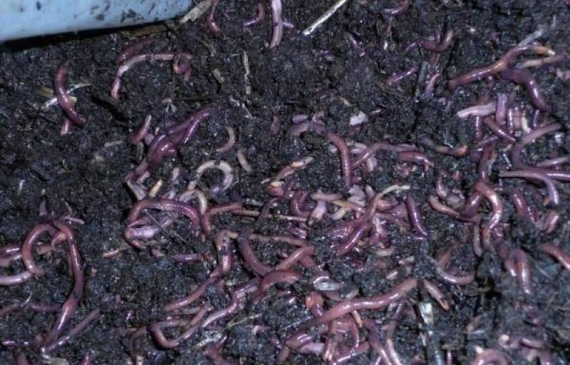 Разведение червей в домашних условиях для рыбалки.