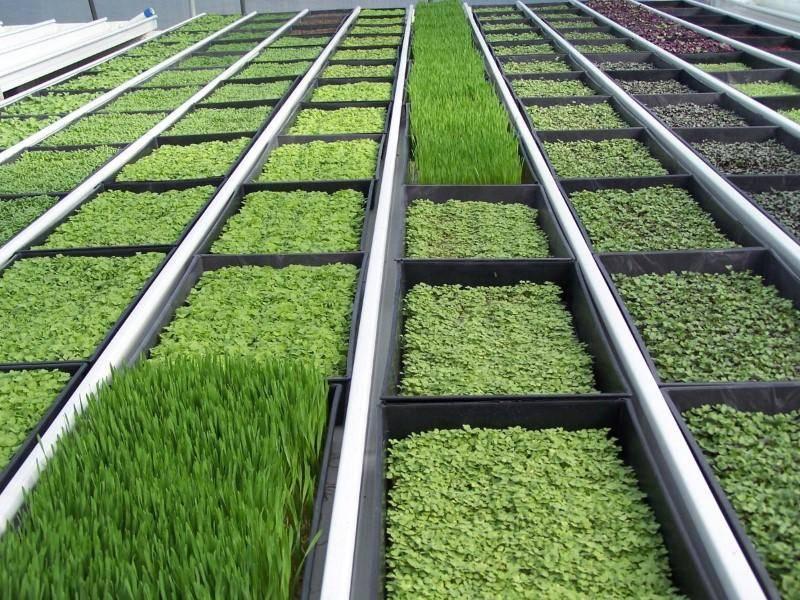 Бизнес-план предприятия по выращиванию зелени.