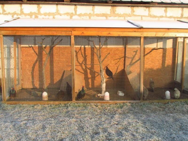 Разведение фазанов в домашних условиях подробно: как создать КФХ?