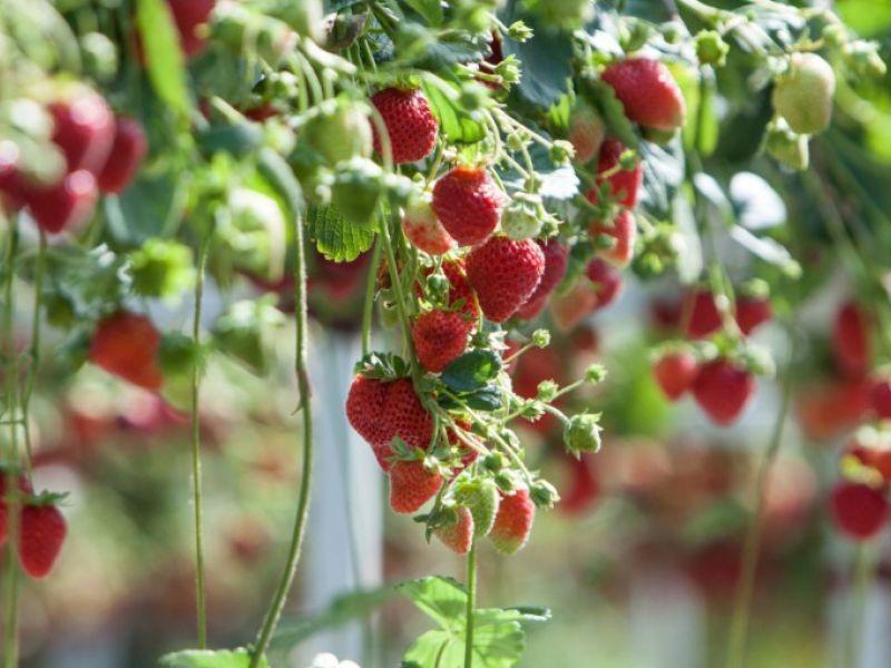 Примерный бизнес-план выращивания клубники с расчетами затрат и доходов.