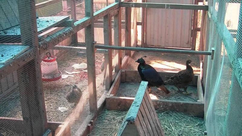 Как и где содержать фазанов в летнее и зимнее время?