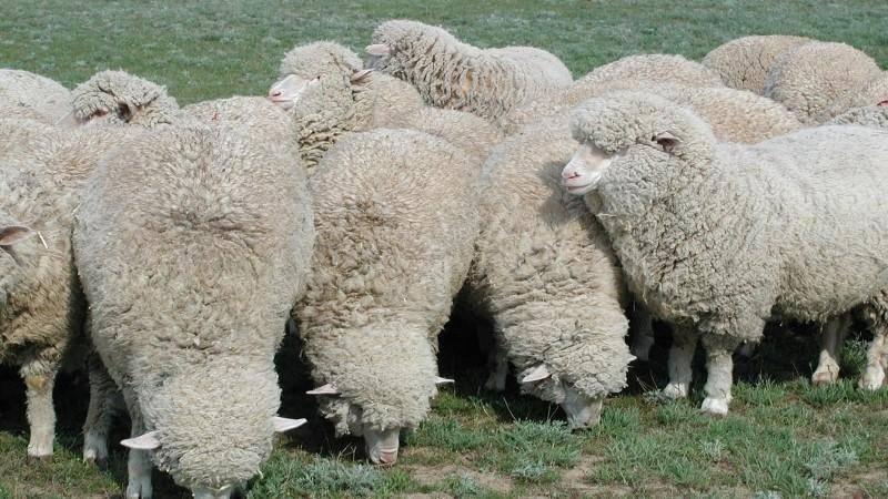 Разведение овец в домашних условиях для начинающих: как выбрать породу?