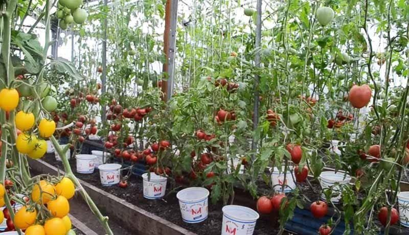 Что выращивать в теплице на продажу?