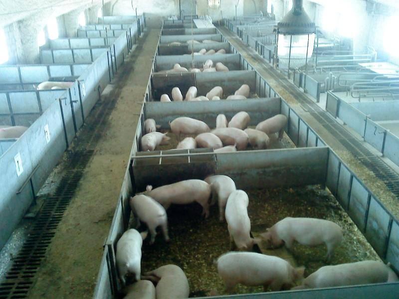 Каким должно быть помещение для выращивания свиней?