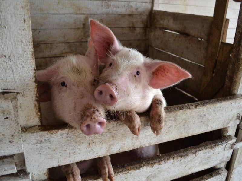 Плюсы и минусы свиноводческого бизнеса.