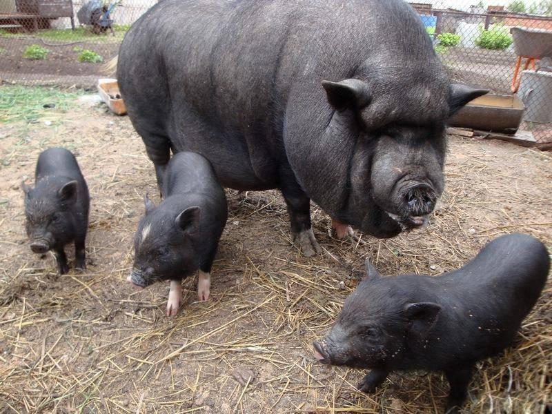 Как выбрать породу свиней для разведения в домашних условиях.